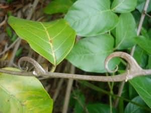 liane du Pérou